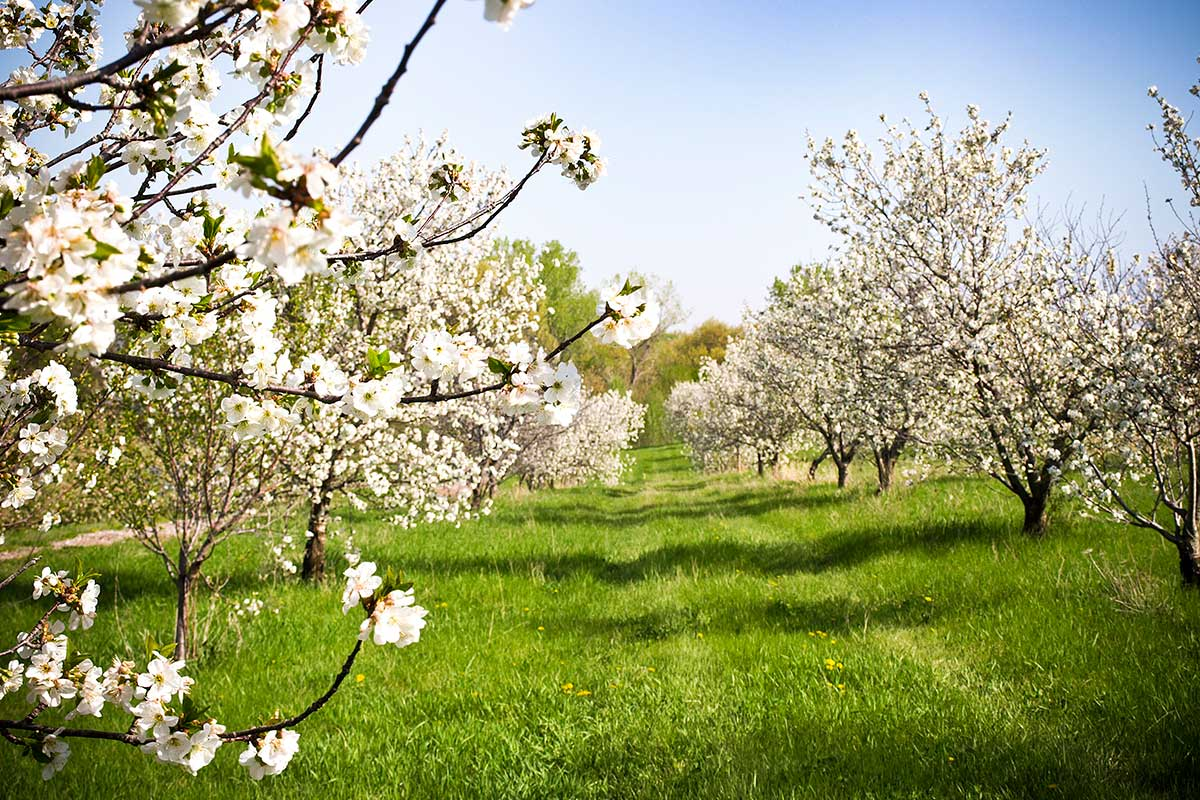 Arbor Day Farm apple orchard blooming in Spring